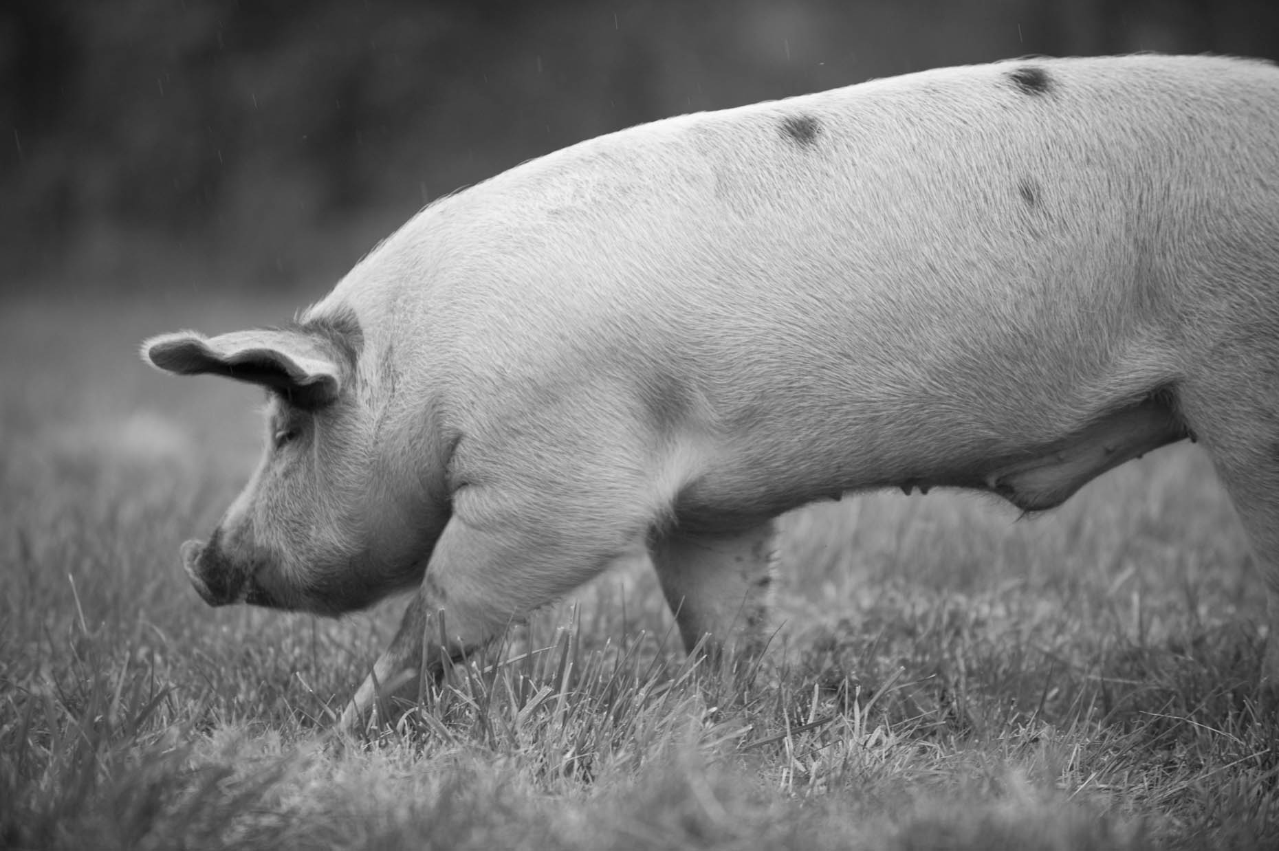 Pastured pig on Hudson Valley Farm