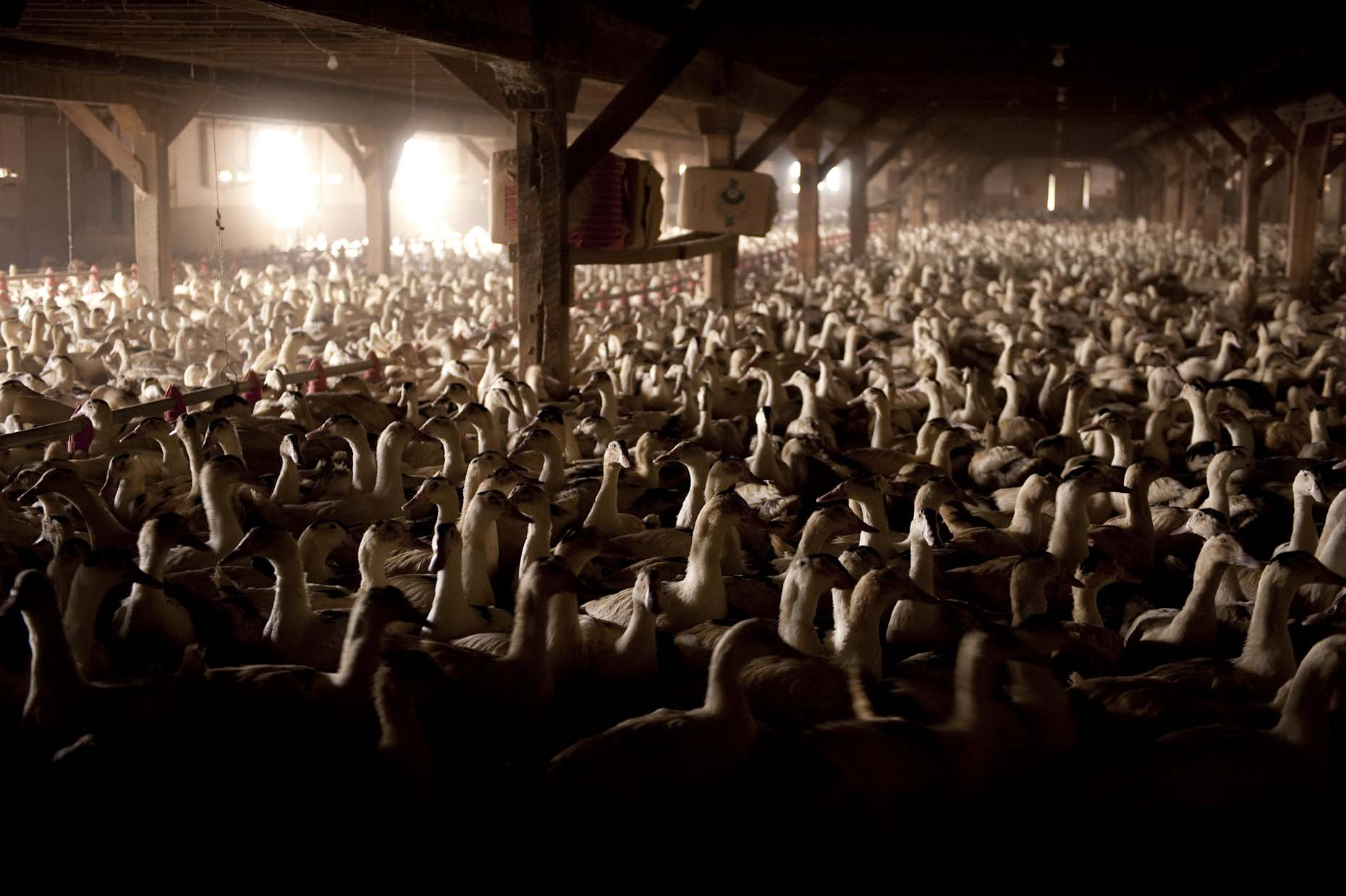 Ducks in barn for gavage