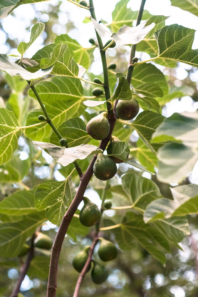 Food Photoraphy Figs in Tree Jennifer May Pacific Northwest