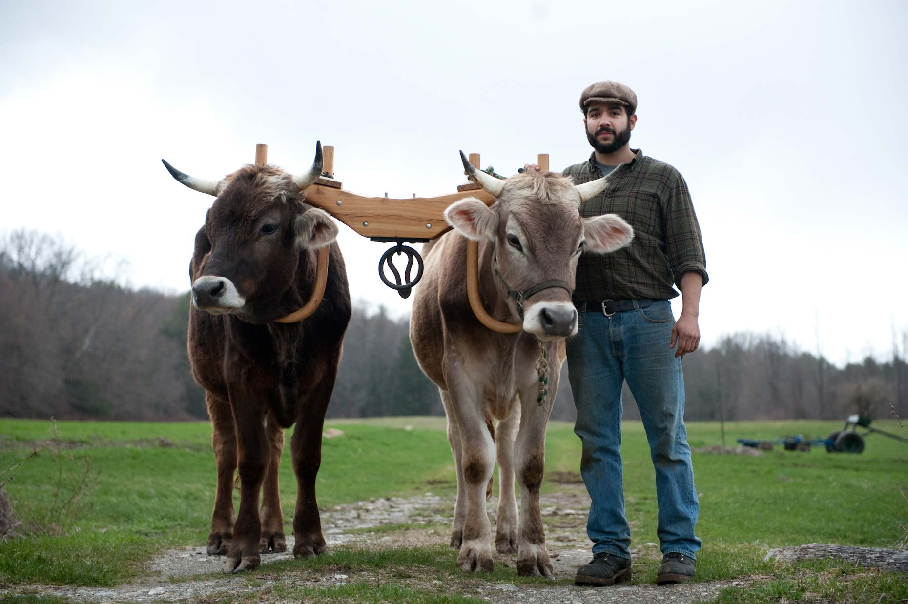Farmer and oxen on farm