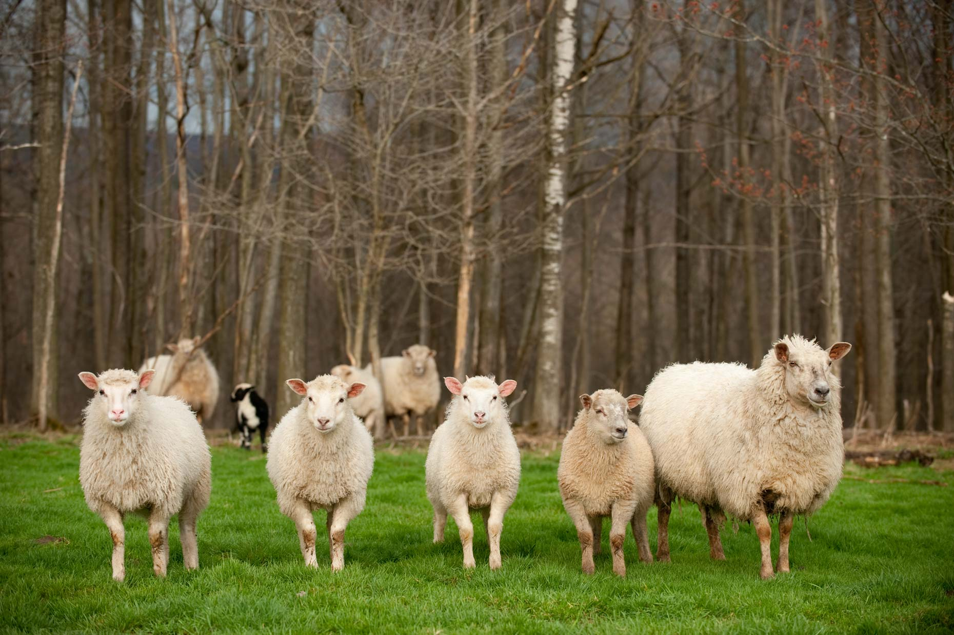 Sheep on farm photography by Jennifer May